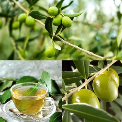 Оливковые листья: лечебные свойства